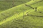 tea-fields