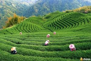 929201 38415 700x700 300x200 - Проблемы экспорта китайского чая